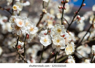 Tokyo, Japan 16 Jan, 2017- Prunus mume blossoms at Nogi Shrine in Tokyo, Japan. Nogi Shrine is a shrine dedicated to and built on the property of the Meiji era army general and educator Nogi Maresuke.