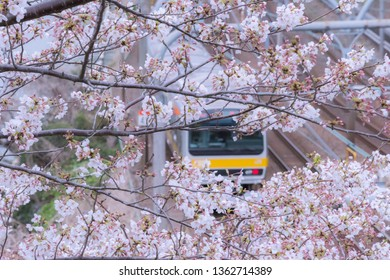 Tokyo, Japan - 2019 April 2nd: Japan Rail train and the Cherry Blossom trees and flowers Sakura in Tokyo.