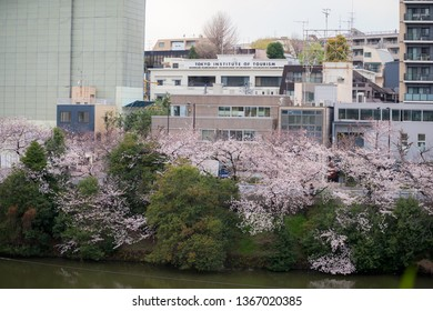Tokyo, Japan - 2019 April 2nd: Tokyo Institute of Tourism and the Cherry Blossom trees and flowers Sakura in Tokyo.