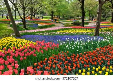 TOKYO, JAPAN- APR. 17, 2015: Tulips at Showa Kinen Park, Tachikawa, Tokyo, Japan.