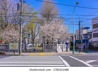tokyo, japan - april 04 2020: Pedestrian crossing in front of the Hiratsuka Shrine gate overlooked by pink cherry blossoms trees in the Kaminakazato district of Kita ward in Tokyo.
