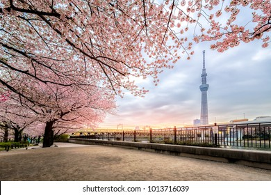 Tokyo, Japan - April 12, 2017: Tokyo Skytree with cherry blossoms in full bloom at Sumida river, Tokyo, Japan. Tokyo Skytree is the tallest tower in the world, broadcasting and observation tower.