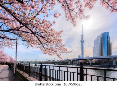 Tokyo, Japan - April 12, 2017: Tokyo Skytree with cherry blossoms in full bloom along the Sumida River near Asakusa, Tokyo, Japan. Tokyo Skytree is the tallest tower in the world.