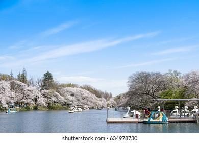 Tokyo, Japan -April 12, 2017: Visitors riding swan boats and enjoying the cherry blossoms (sakura) in Inokashira Park, Tokyo