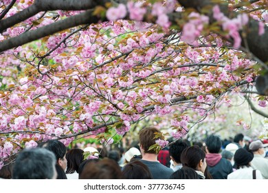 TOKYO, JAPAN - APRIL 13, 2014: People enjoy cherry blossoms (sakura) in Ueno Park, Tokyo. Ueno Park is visited by up to 2 million people for annual Sakura Festival.