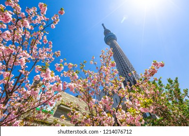 Tokyo, Japan - April 19, 2017: Tokyo Skytree and Sakura tree in full bloom. Tokyo Skytree is the tallest tower in the world, broadcasting and observation tower in Sumida District. Blue sunny sky.