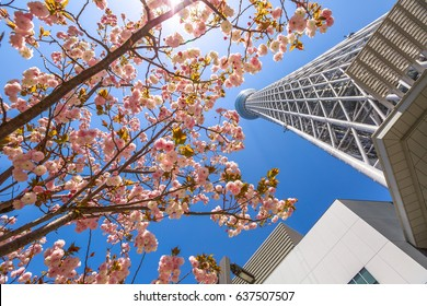 Tokyo, Japan - April 19, 2017: Tokyo Skytree with cherry blossoms in full bloom in Sumida District, Tokyo, Japan. Tokyo Skytree is the tallest tower in the world, broadcasting and observation tower.