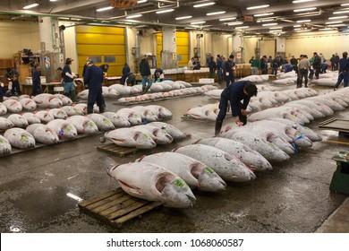Tokyo, Japan, April 2009: Rows of tuna fish on palettes at fish auction at Tsukiji fish market.