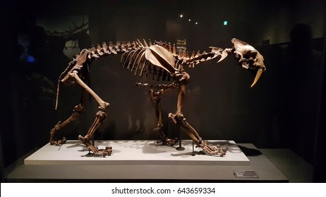 Tokyo, Japan - April 29 2017, Smilodon skeleton fossil known saber-toothed cat or saber-toothed tiger at National Museum of Nature and Science.