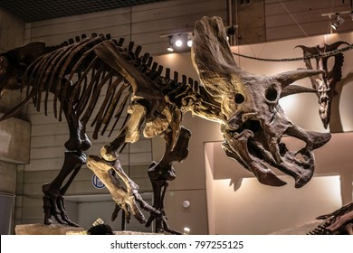 Tokyo, Japan - April 29 2017, Triceratops skeleton fossil at National Museum of Nature and Science Tokyo, Triceratops means three-horned face