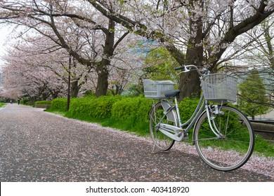 TOKYO, JAPAN -APRIL 8 2016: Cherry blossom at Shon-Yokohama park, April 8, 2016. People enjoy watching full bloom Sakura.