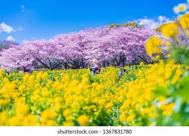 TOKYO, JAPAN - APRIL 9, 2019: Sakura cherry blossoms and canola flowers in full bloom at Showa Kinen Park, Tokyo, Japan.