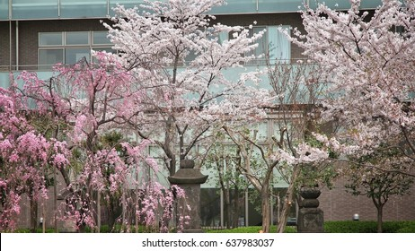Cherry blossoms dating in Brisbane