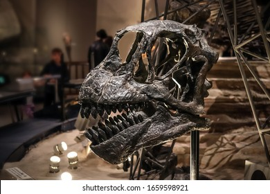 Tokyo, Japan - February 15 2020, Camarasaurus skull fossil at Museum of Nature and Science Tokyo, Camarasaurus is a giant herbivorous sauropods dinosaurs dating to the Late Jurassic.