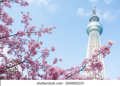 Tokyo JAPAN - March 11 2018: Tokyo Sky Tree and cherry blossom during spring. Tokyo Sky Tree is one of the famous landmark in Tokyo. It is the tallest structure in world when built.