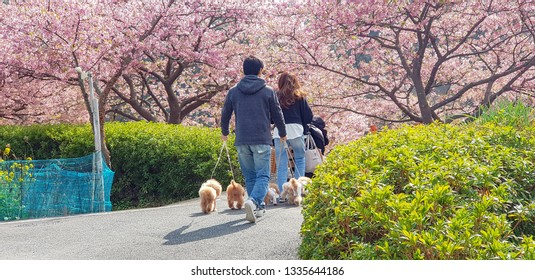 Tokyo / Japan - March 2019: A couple walks their dogs at Kawazu full of early cherry blossom.