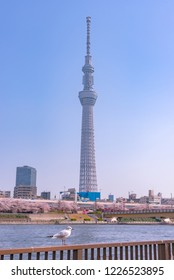 Tokyo, Japan - March 29, 2018: Tokyo Skytree Tower with cherry blossoms in full bloom at Sumida Park. Tokyo Skytree is the highest tower in Japan, 634m tall, broadcasting and observation tower in Sumi