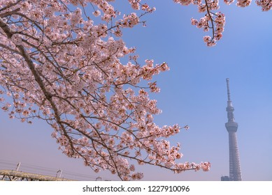 Tokyo, Japan - March 29, 2018: Tokyo Skytree Tower with cherry blossoms in full bloom at  Sumida Park. Tokyo Skytree is the highest tower in Japan.