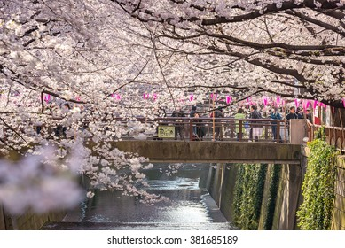TOKYO, JAPAN - March 30 : Tourist unidentified taking picture with Cherry blossom flower taken March 30, 2015 in Naga Meguro area, Tokyo. This area is popular sakura spot in Tokyo with beautiful canal