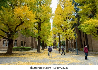 Tokyo, Japan - Nov 20, 2017 : Tourist enjoy and take a photo ginkgo leaves at University of Tokyo on Nov 20, 2017. University of Tokyo is famous landmark for seeing autumn ginkgo leaves.