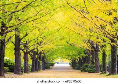 Tokyo, Japan - November 7 : Street in Tokyo, Japan on November 7, 2014, The street nearby Meiji Jingu Gaien that has beautiful Ginkgo along the lenght of the street