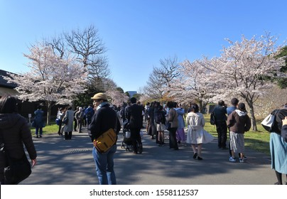 Tokyo/Japan - April 3, 2019 - Annual special public viewing of cherry blossoms at the Imperial Palace Inui Street (乾通り). The street is opened to the public during the cherry blossom season.