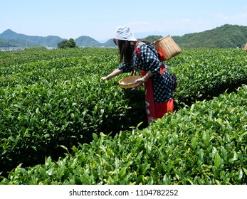 Tokyo,Japan-June 3,2018: Lady tea pickers, wearing traditional costume. pick tea in a tea field in Shizuoka, a famous place of green tea.
