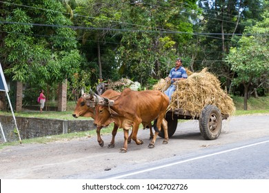 Tola, Nicaragua - January 20: Local farmer transporting hay with a ox pulled cart on the highway in Nicaragua. January 20 2018, Tola, Nicaragua