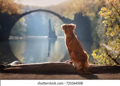 Toller dog  look at the landscape  Rakotz Bridge (Rakotzbrucke, Devil's Bridge) in Kromlau, Saxony, Germany. Colorful autumn , relax.   Nova Scotia Duck Tolling Retriever