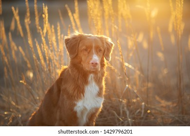toller dog on the sand sunset. Nova Scotia Duck Tolling Retriever in nature. pet travel