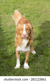 A toller standing in the sunshine.