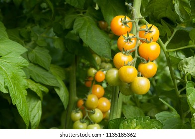 Tomato and Cherry tomato growing in Green House