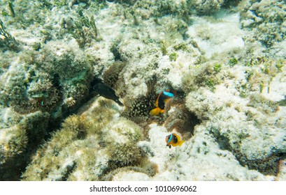 Tomato clown fish with brown surgeonfish swimming in the natural coral reef off the coast of Yejele Beach in Tadine, Mare, New Caledonia