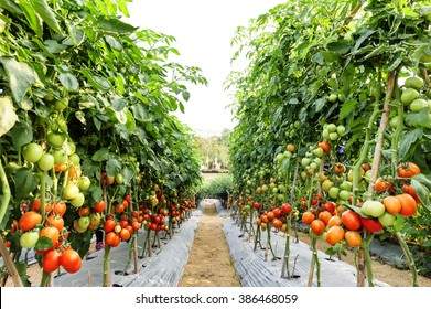 Tomato cultivation Asia style.