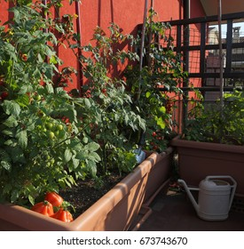 Tomato cultivation in the vases of an urban garden on the terrace in the city