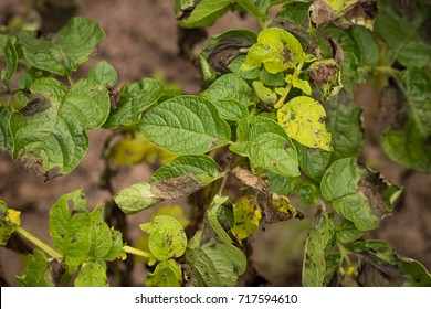 Tomato Disease. Leaves Plant Of Potato Stricken Phytophthora (Phytophthora Infestans) In Vegetable Garden Close Up.