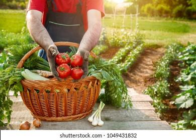 Tomato in farmer hands.Farmer holding fresh picked tomato.