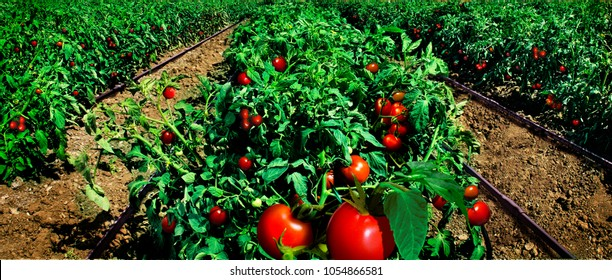 Tomato field and irrigation system