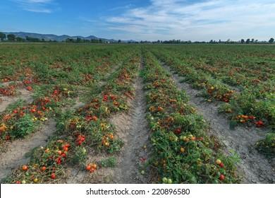 tomato field on summer day
