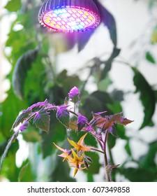 Tomato flower under LED lamp for plant