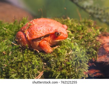 Tomato frog or a frog-tomato Tomato frog is endemic to North-Eastern Madagascar. The color really resembles a ripe tomato.
