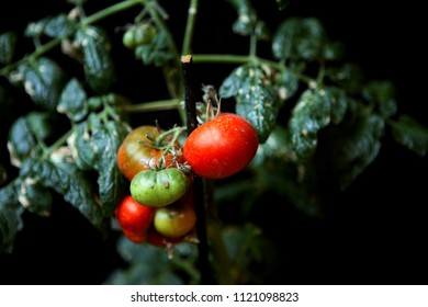 Tomato fruit affected by the disease.