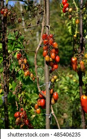 Tomato fungal disease - late blight (Phytophthora infestans). Brown rotting outdoor tomato in a garden. Copy space.