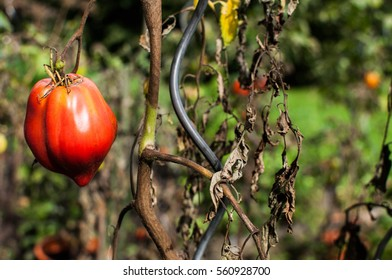 Tomato growing in the garden