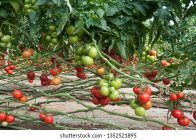 Tomato Growing in Green House