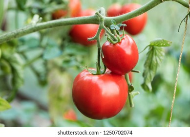 tomato growing in organic farm. Ripe natural tomatoes growing on a branch in a greenhouse. Red Tomatoes Growing on Plant
