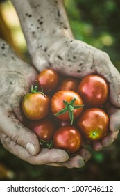 Tomato harvest. Farmers hands with freshly harvested tomatoes.