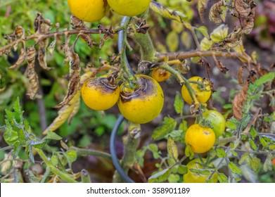 tomato late blight in garden