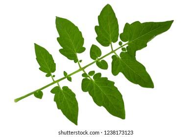 Tomato leaf closeup isolated on white background