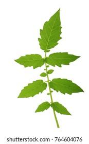 tomato leaf isolated